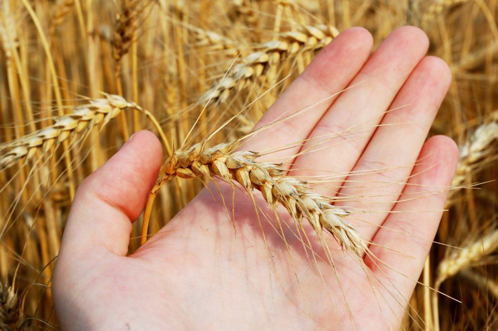 Las personas con intolerancia al trigo desarrollan unos mecanismos inmunológicos que liberan cantidades elevadas de histamina y provocan síntomas como dolores de cabeza, síntomas digestivos, cansancio…