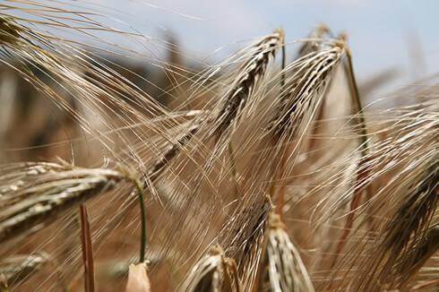 el trigo y el tratamiento para el gluten